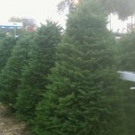 Douglas Fir in tree lot in Van Nuys
