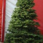 Noble Fir Christmas Tree in Van Nuys