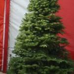 Noble Fir Christmas Tree in Van Nuys